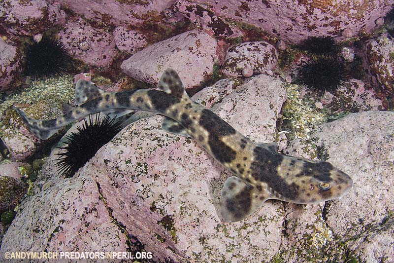 Redspotted Catshark
