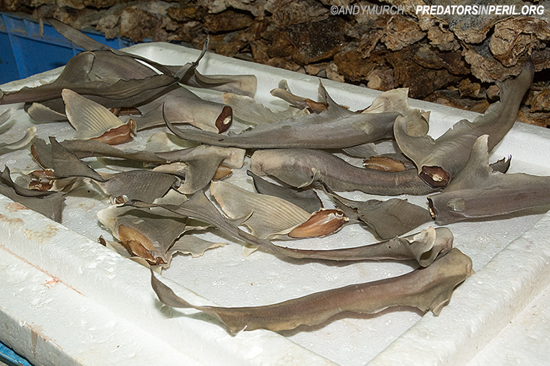 Dead sharks displayed for auction in Deira Fish Market