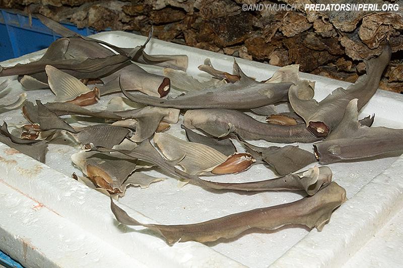 Dead sharks displayed for auction in Deira Fish Market, Dubai, UAE