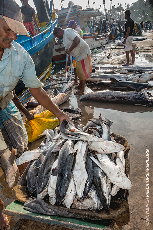 A barrow load of tiny sharks on display in Mirissa Harbour, Sri Lanka.