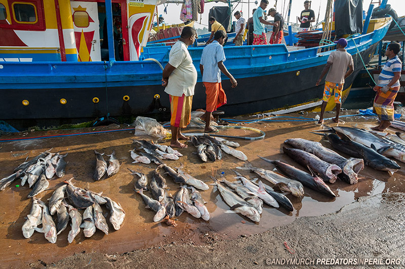 Small sharks for sale in Mirissa Harbour